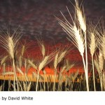 Wheat in the sunset in Goomalling, Western Australia, by David White