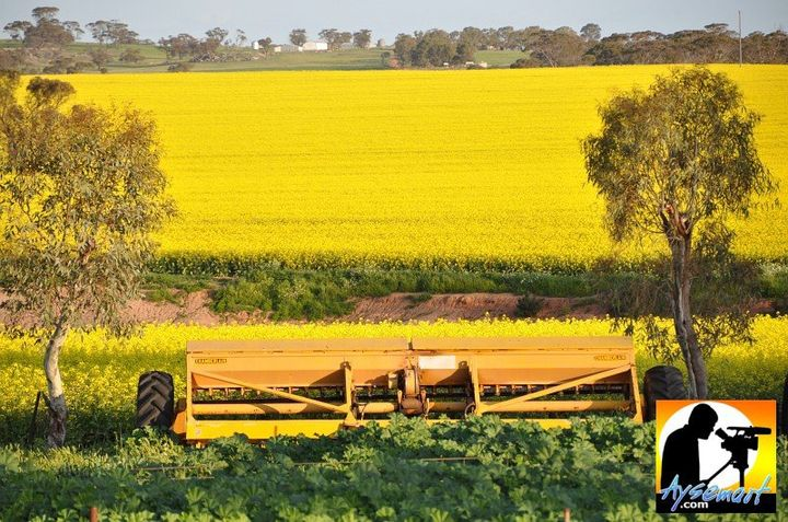 Canola in Goomalling, Western Australia