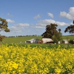 Mudbrick cottage in Goomalling, Western Australia, surrounded by canola