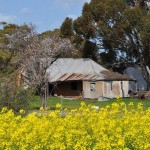 Mudbrick house with canola in foreground, Goomalling, Western Australia