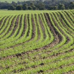 Crop emerging, Goomalling, Western Australia