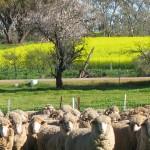 Merino sheep, Goomalling, Western Australia