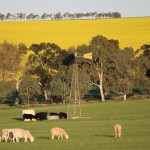 Sheep, canola and windmill, Goomalling, Western Australia