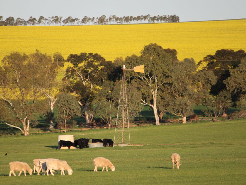 Sheep, canola and windmill, Goomalling, Western Australia