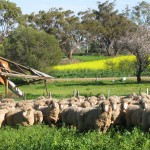 Merino sheep next to old mudbrick cottage, Goomalling, Western Australia