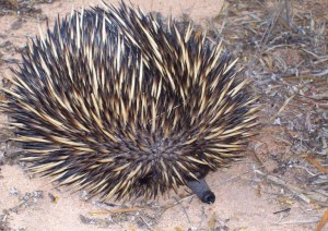 Echidna at Oak Park