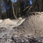 Sand mounds created by ants in the bush in Goomalling, Western Australia