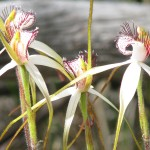 Goomalling Motel is in walking distance of native orchids