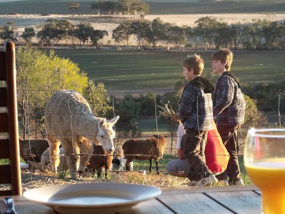 Alpacas at Chitibin Heights, Goomalling