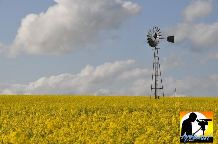 aysemart - canola with windmill