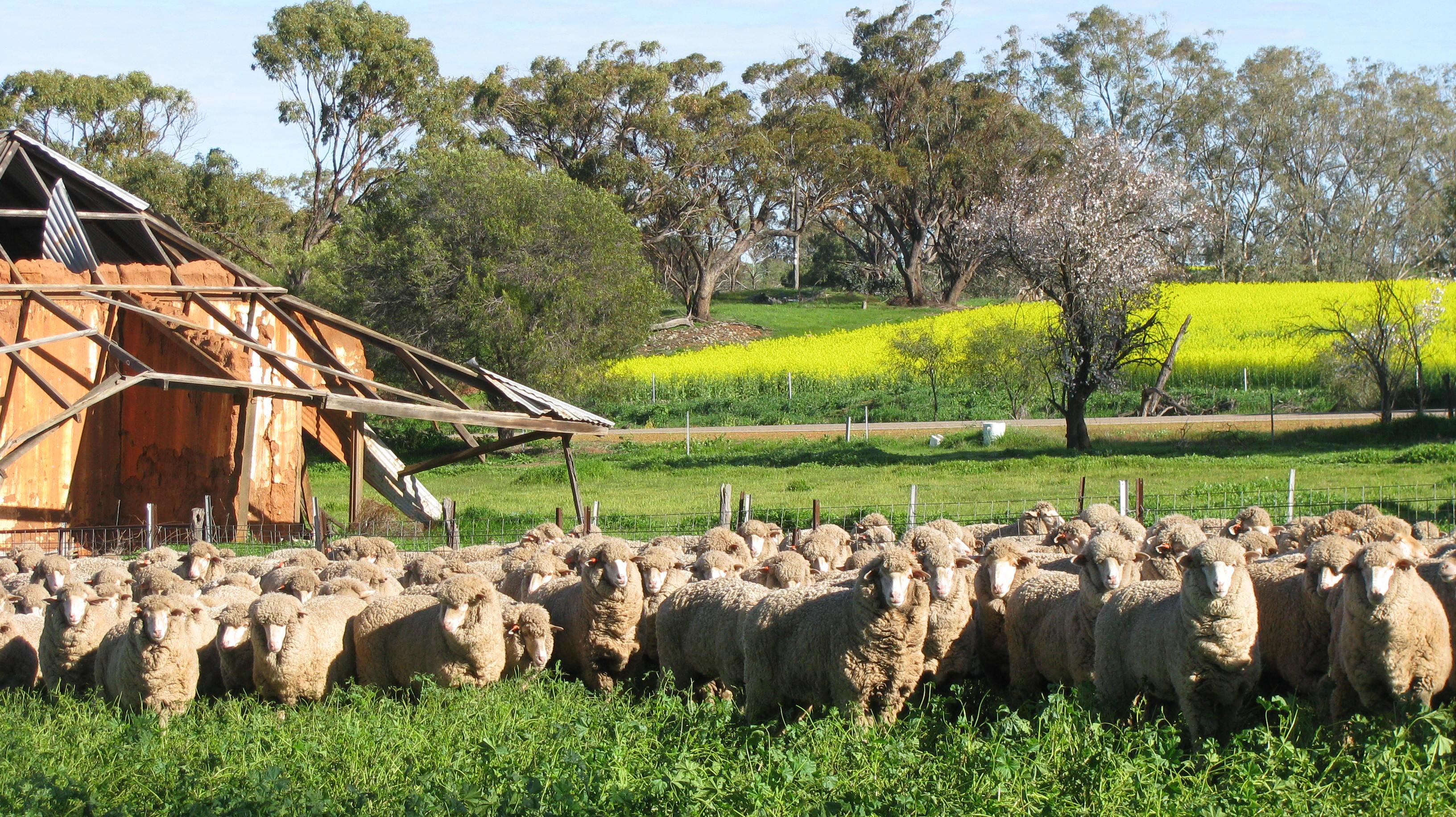 Merino sheep next to old mudbrick cottage, Goomalling, Western Australia