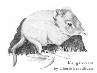 kangaroo rat by Cherie Broadhurst copy