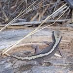 Lizard in the bush in Goomalling, Western Australia